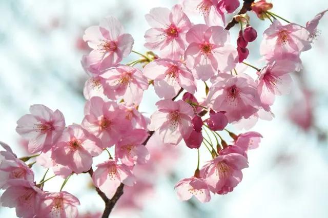 桜 舞う空